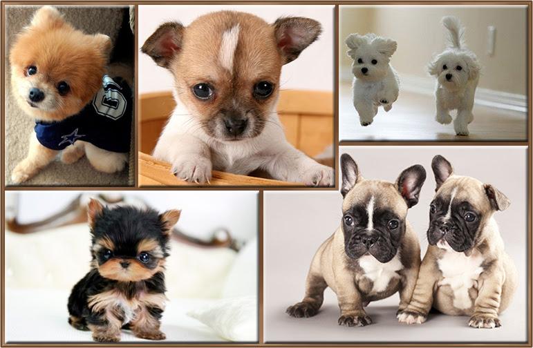 Perros Pequeños Esos Adorables Seres Diminutos Con Fotos