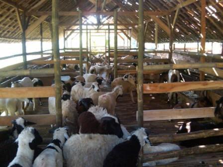 gayabatam: Cara berternak kambing yang baik