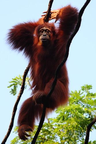 orangutan on the ropes