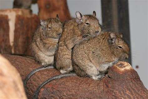 File:Octodon degus  Artis Zoo, Netherlands 8b