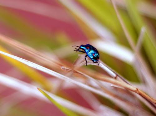 IMG 6914 Harlequin Beetle.