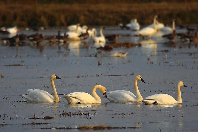 IMG_4551 Tundra Swan