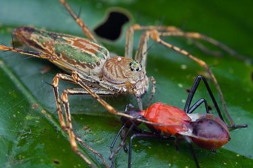 green lynx spider with red pentatomidae bug prey IMG_9271 copy