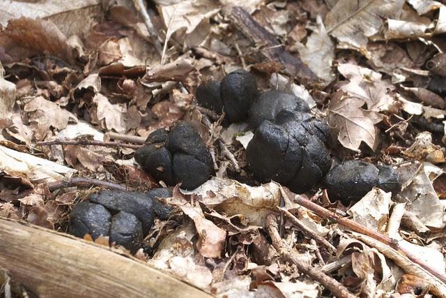 DSC_6538 wild boar droppings