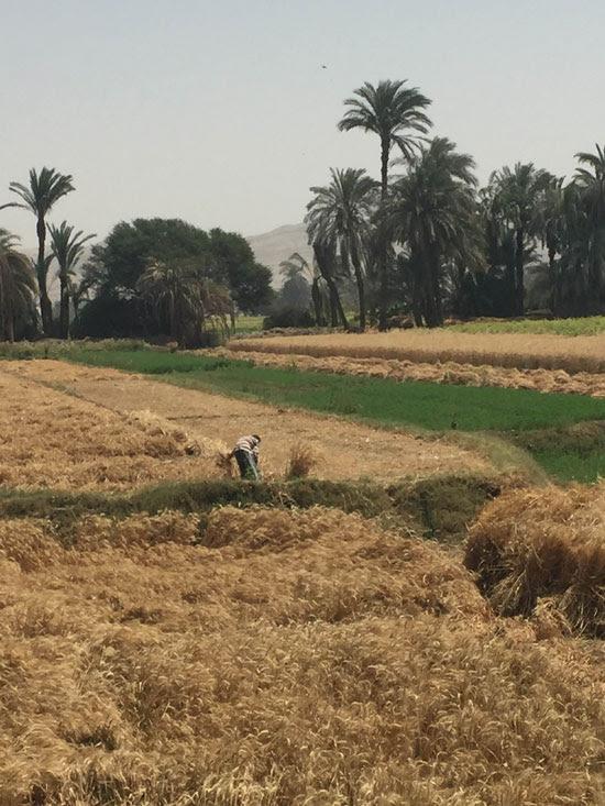 محصول القمح باسيوط (1)