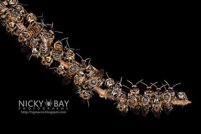 Sweat Bees sleeping (Halictidae) - DSC_2002