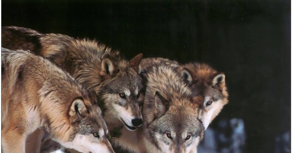 Animals Pictures Gallery: Wild Wolves Photos And Pictures