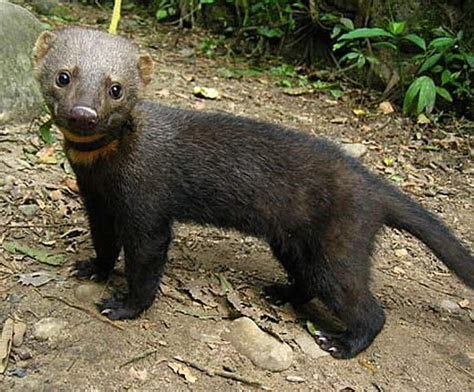 Tayra   Clever, Eats Whatever   Animal Pictures and Facts   FactZoo.com