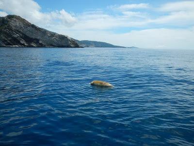 Νεκρή μεσογειακή φώκια πιασμένη στα δίχτυα