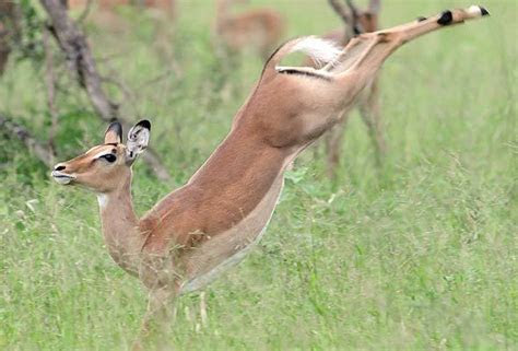Impala   Antelope   South African Mammal Guide
