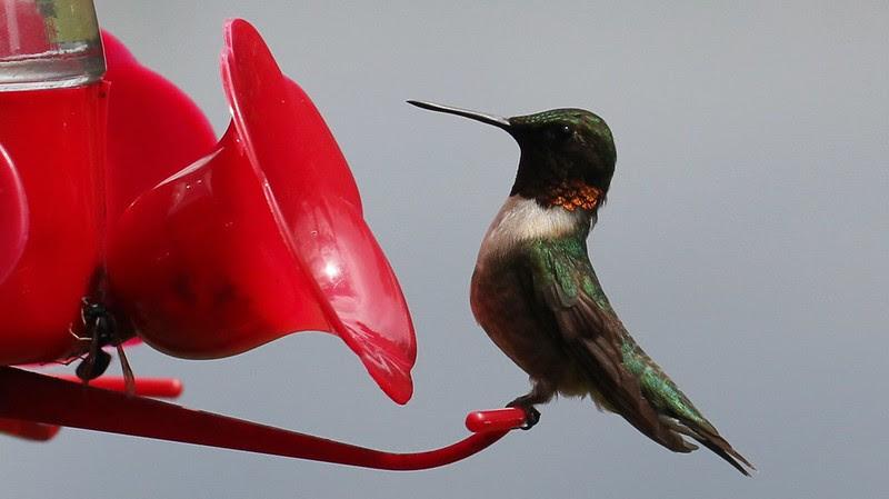 hummingbird male