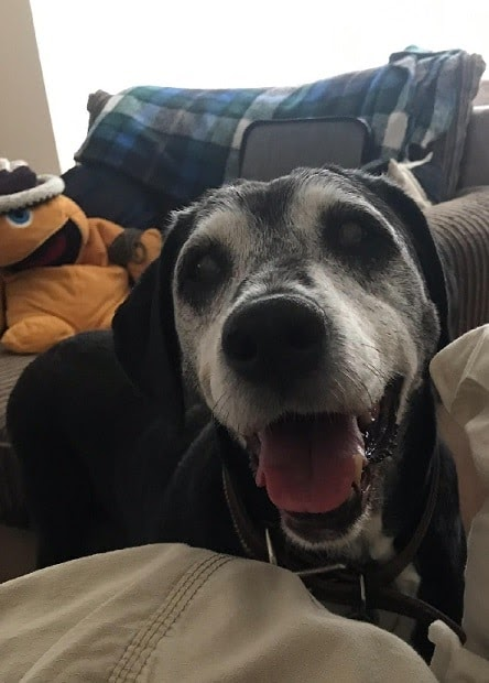 Sheriff and Lacey – 16 year old female Labrador cross Dalmatians