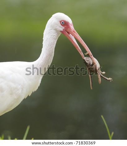 White Ibis, Eudocimus albus, in shallow green water with frog or toad in beak