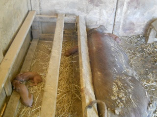 More New Piglets 2012