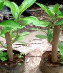Khasiat daun afrika untuk kecantikan dan cara menanam