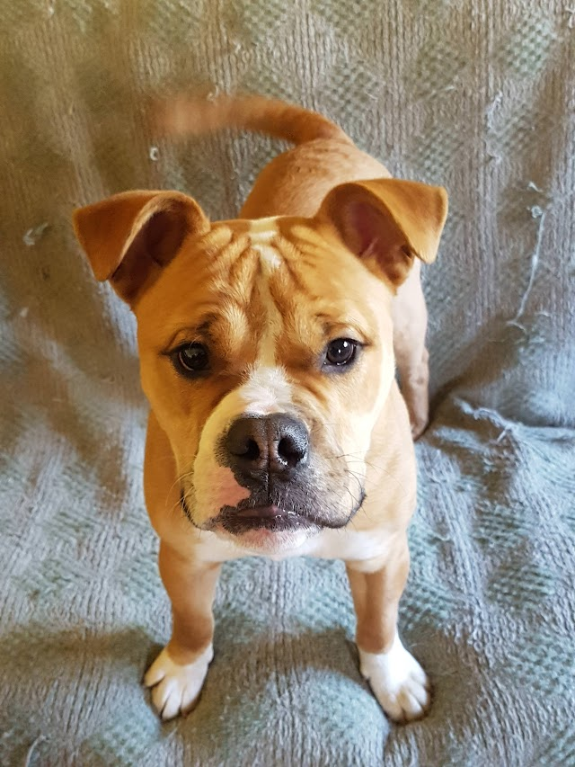 Podge – 9 month old male Old Tyme Bulldog