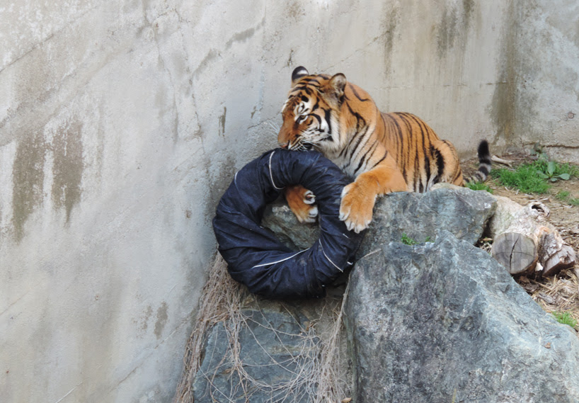 japanese zoo jeans are ripped and torn by tigers