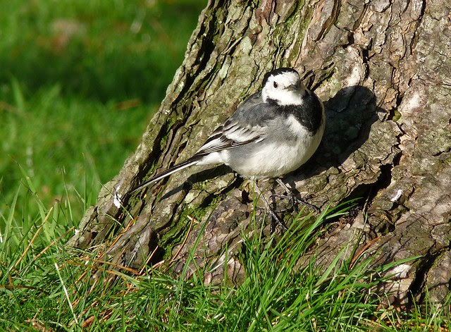 25431 - Pied Wagtail, Llanelli WWT