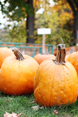 miller's farm, pumpkin patch