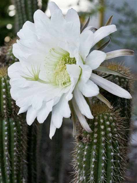 Echinopsis spachiana   Golden Torch   World of Succulents