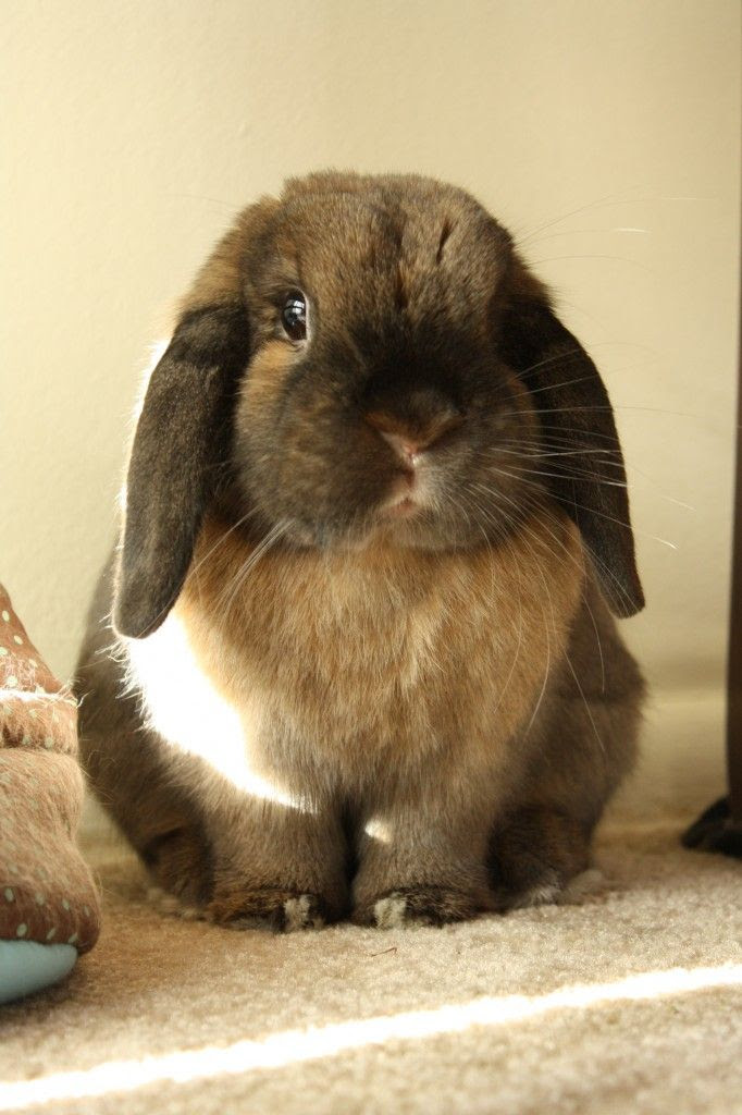 Lop bunny is so, so round - September 14, 2012