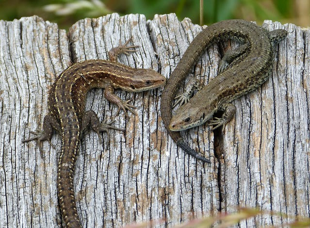 27499 - Common Lizard, WWT London