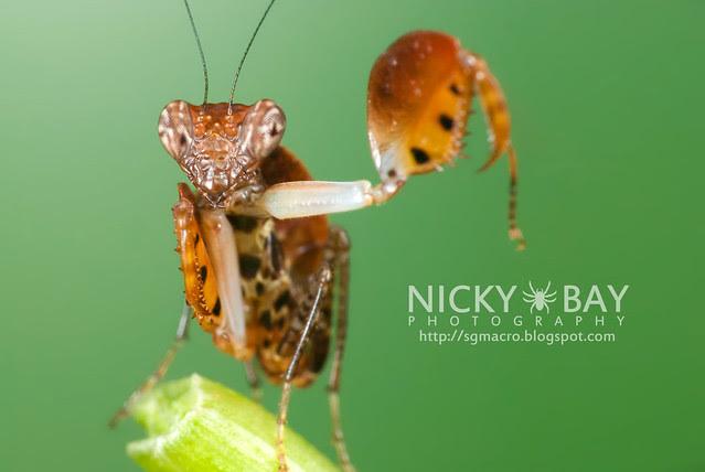 Boxer Mantis (Otomantis sp.?) - DSC_6549