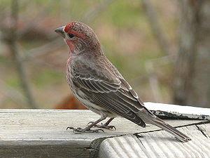 A male House Finch (Carpodacus mexicanus) perc...