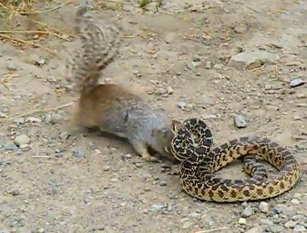 Em um vídeo de 2011, um esquilo foi filmado atacando uma cobra-touro O roedor morde diversas vezes o réptil, apesar dos ataques do rival. No final, a cobra tenta fugir, mas o esquilo não desiste. (Foto: Reprodução)