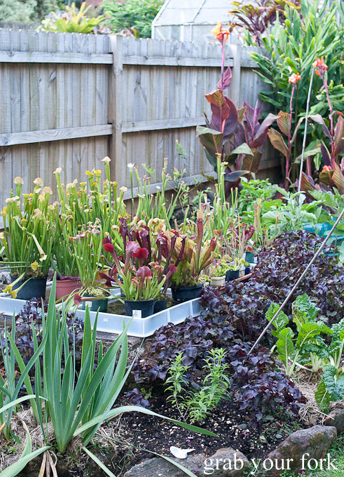 garden purple shiso, venus fly traps and pitcher plants
