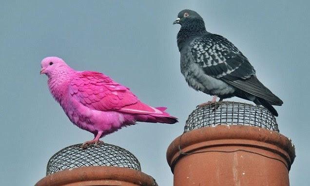 L'oiseau semblait une race à part de ses amis à plumes, mais semblait plus qu'heureux de se mêler à eux parmi les poutres