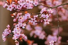 체리, 벚나무, 꽃, 나무, 빨강, 벚꽃, 흰 꽃, 자연, 화이트, 정원