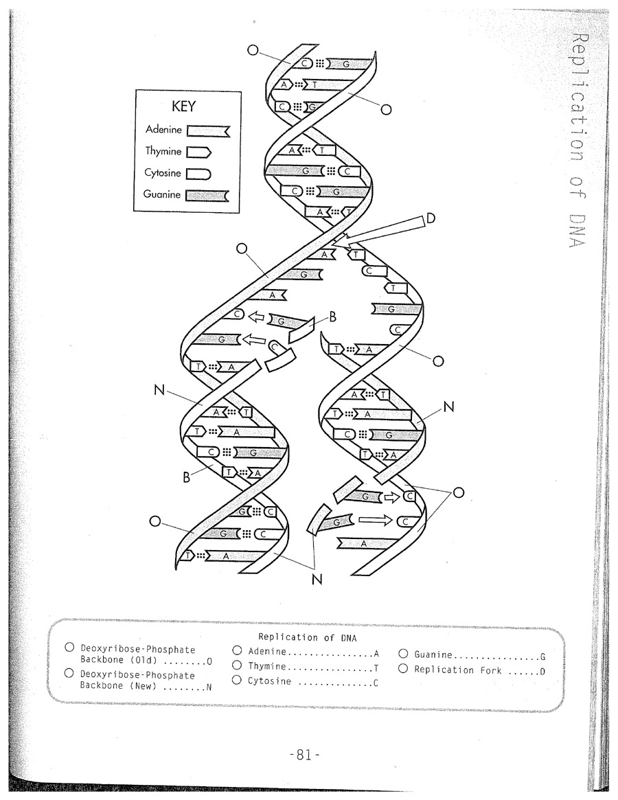 Dna Structure And Replication Worksheet Key Worksheet List [ 1165 x 900 Pixel ]