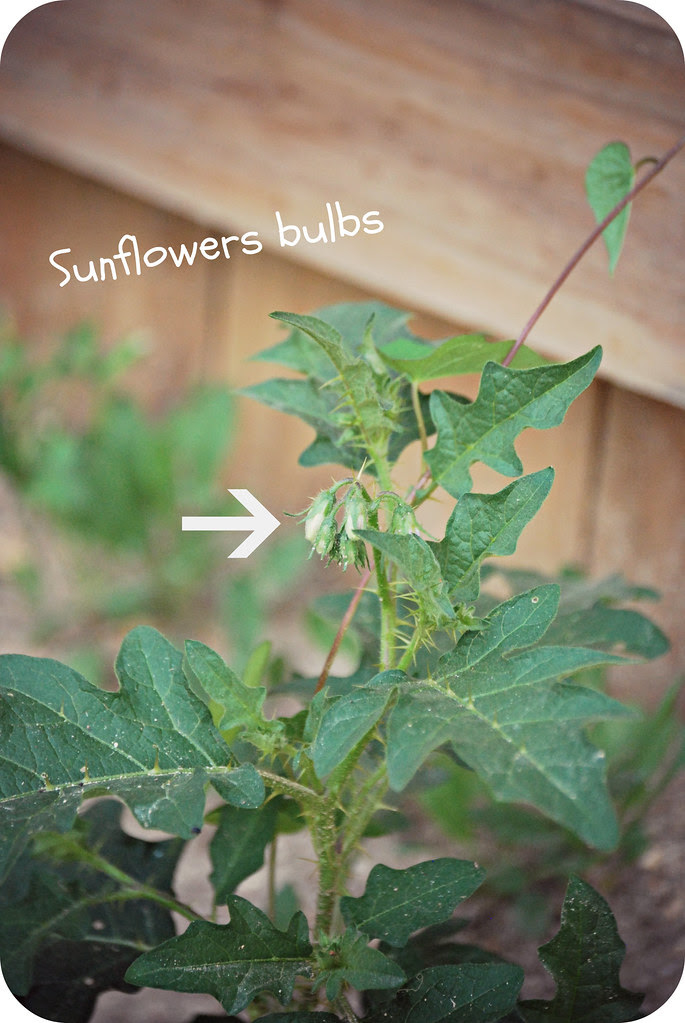 sunflower bulbs