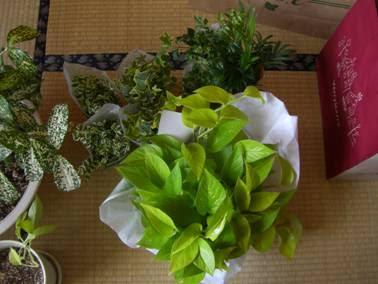 風水実録☆観葉植物☆   風水好日~おんなっぷりをあげていこう~