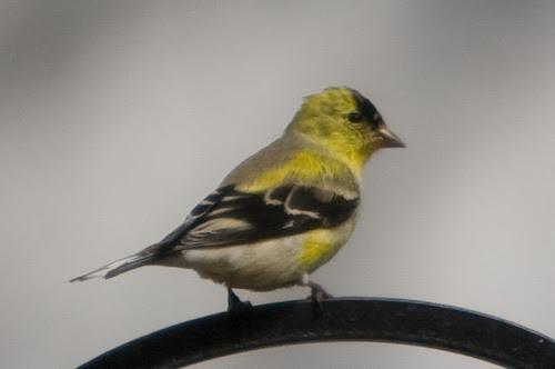 goldfinch_crop