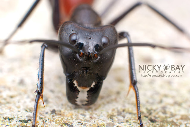Giant forest ant (Camponotus gigas?) - DSC_7153