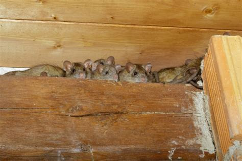 How to Get Rid of Pests in Your Attic   Rodents, Insects & Bats