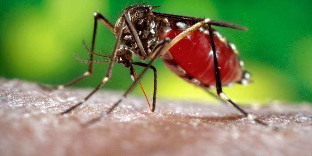 Entre todas as doenças transmitidas pelo Aedes aegypt, a que mais preocupa é a zika pela possibilidade de provocar má formação do feto durante a gravidez - Foto: Divulgação