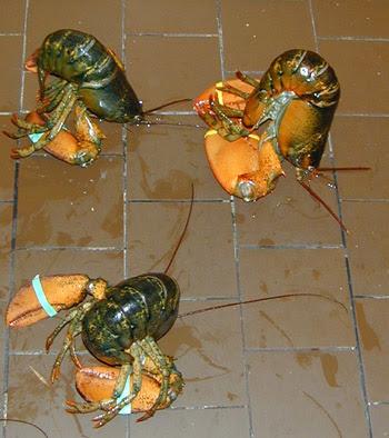 sleeping lobsters