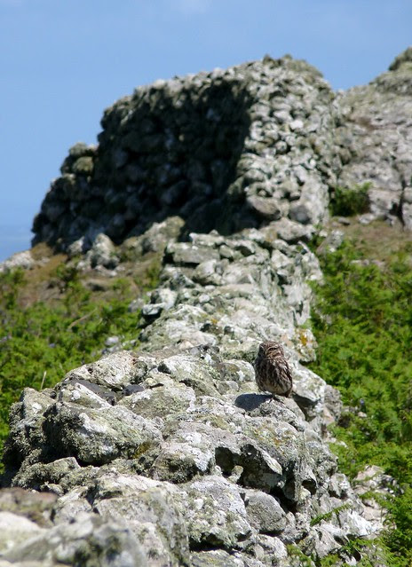24382 - Little Owl, Skomer