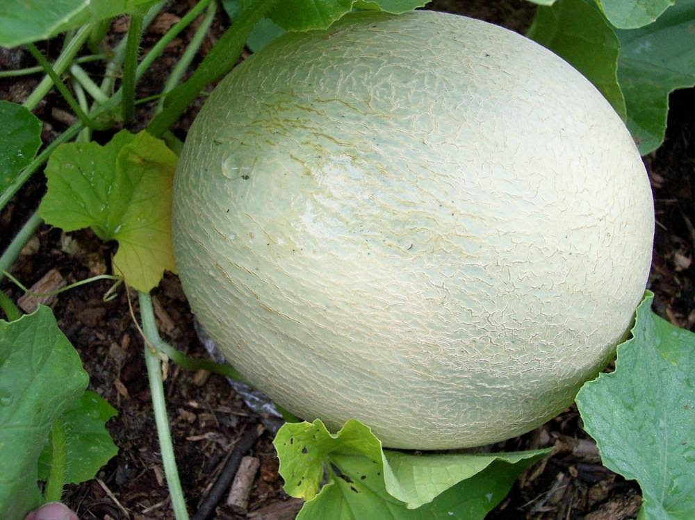 Cantaloupes: Plant Care and Collection of Varieties ...