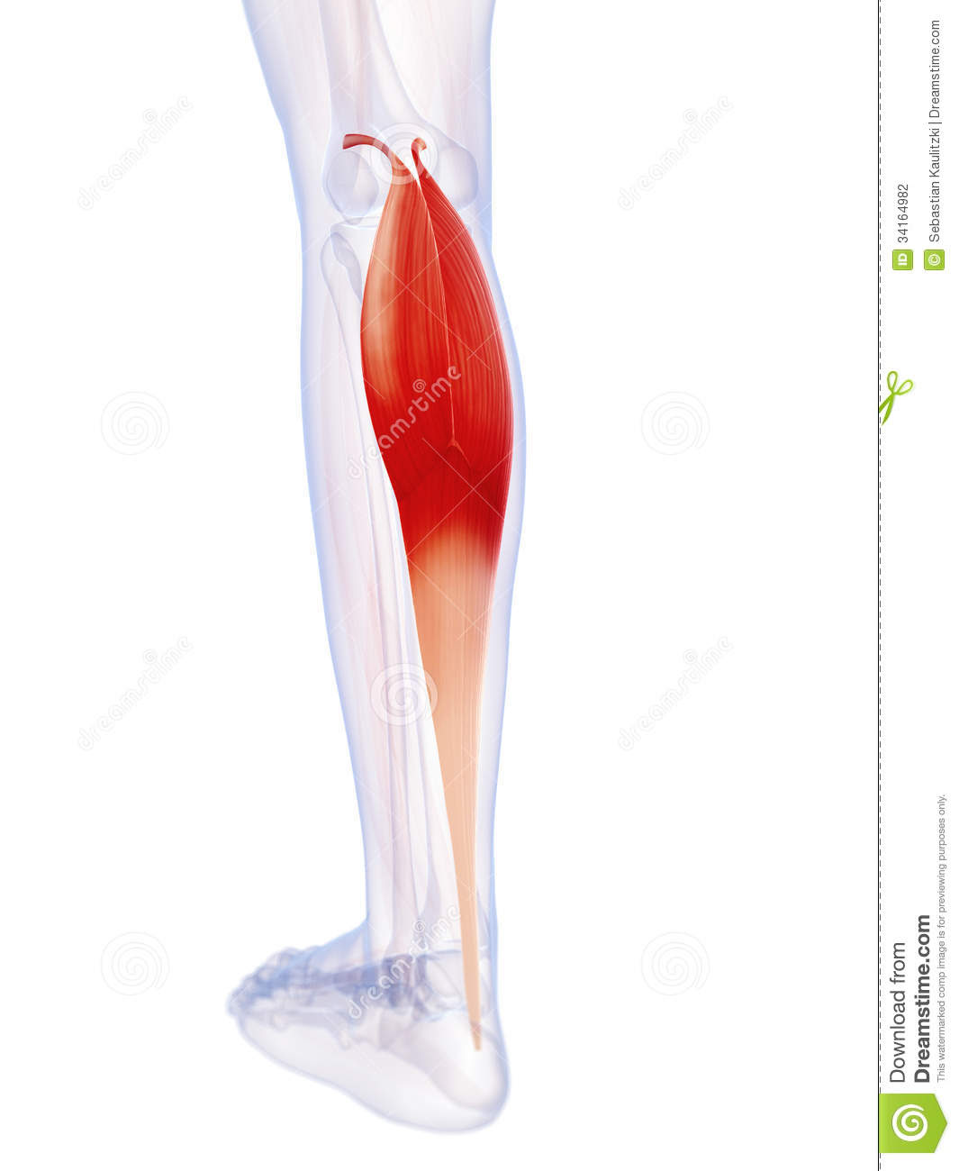 The Gastrocnemius Muscle Stock Photography - Image: 34164982