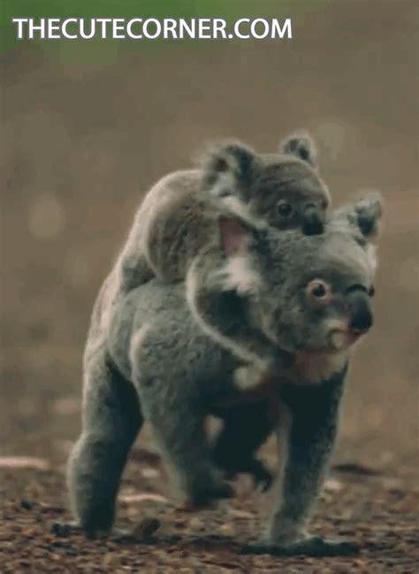 maman et bebe koala cute animal mignon Image, GIF animé