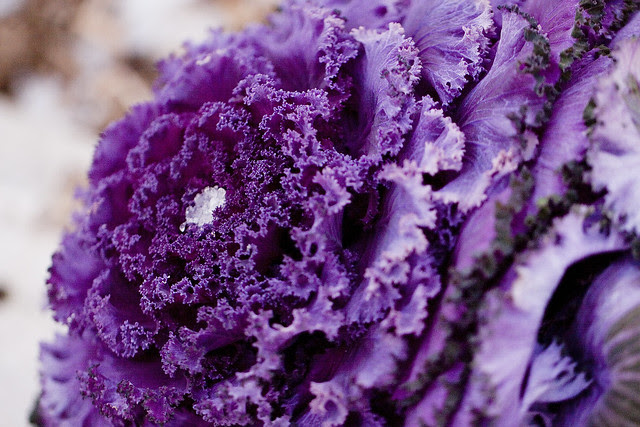 cabbage with icy center