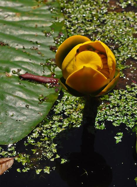 Nuphar lutea ssp. advena
