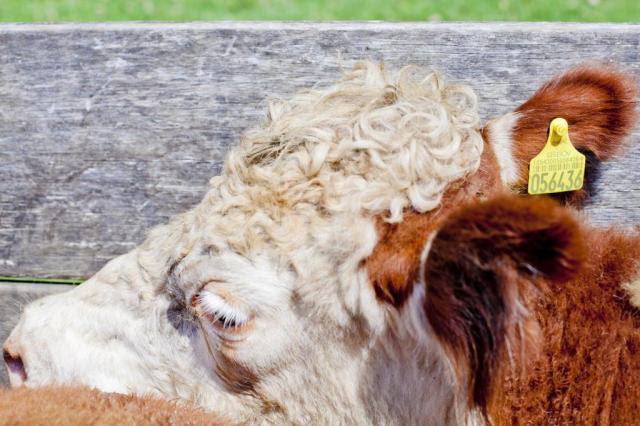 Gisele Loeblein: Rio Grande do Sul busca novo modelo de rastreabilidade para o rebanho bovino Adilson Oliveira Garcia/Especial