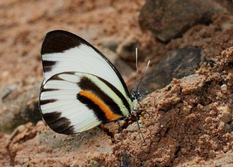 Perrhybris pamela  Por; Learn about butterfly