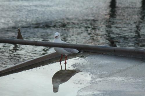 IMG 1197 Funny Gull