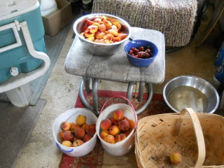 Orchard 2012 Nectarines and Plums
